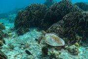 ดำน้ำตื้น-เต่าทะเล-เกาะสิมิลัน