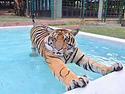 ไทเกอร์-คิงดอม-(Tiger-Kingdom)-สวนเสือภูเก็ต-จำหน่ายบัตร-เข้าชม-11