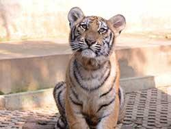 ไทเกอร์-คิงดอม-(Tiger-Kingdom)-สวนเสือภูเก็ต---จำหน่ายบัตร-เข้าชม-2