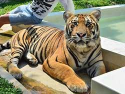 ไทเกอร์-คิงดอม-(Tiger-Kingdom)-สวนเสือภูเก็ต-จำหน่ายบัตร-เข้าชม-3
