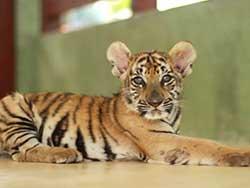 ไทเกอร์-คิงดอม-(Tiger-Kingdom)-สวนเสือภูเก็ต-จำหน่ายบัตร-เข้าชม-5