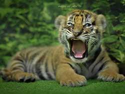 ไทเกอร์-คิงดอม-(Tiger-Kingdom)-สวนเสือภูเก็ต-จำหน่ายบัตร-เข้าชม-9