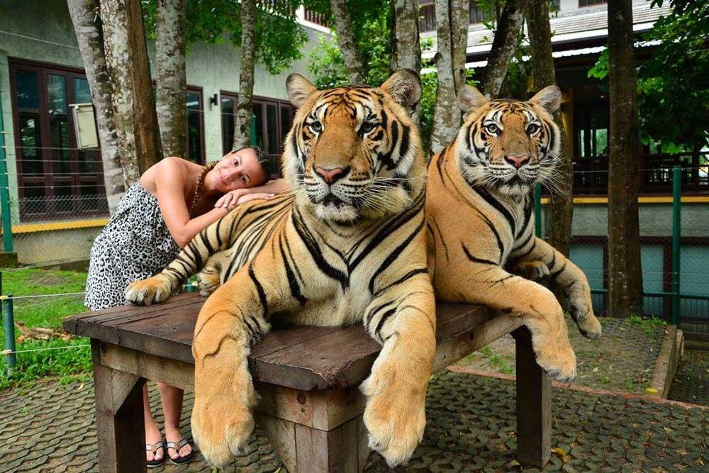 ไทเกอร์-คิงดอม-(Tiger-Kingdom)-สวนเสือภูเก็ต---จำหน่ายบัตร-เข้าชม